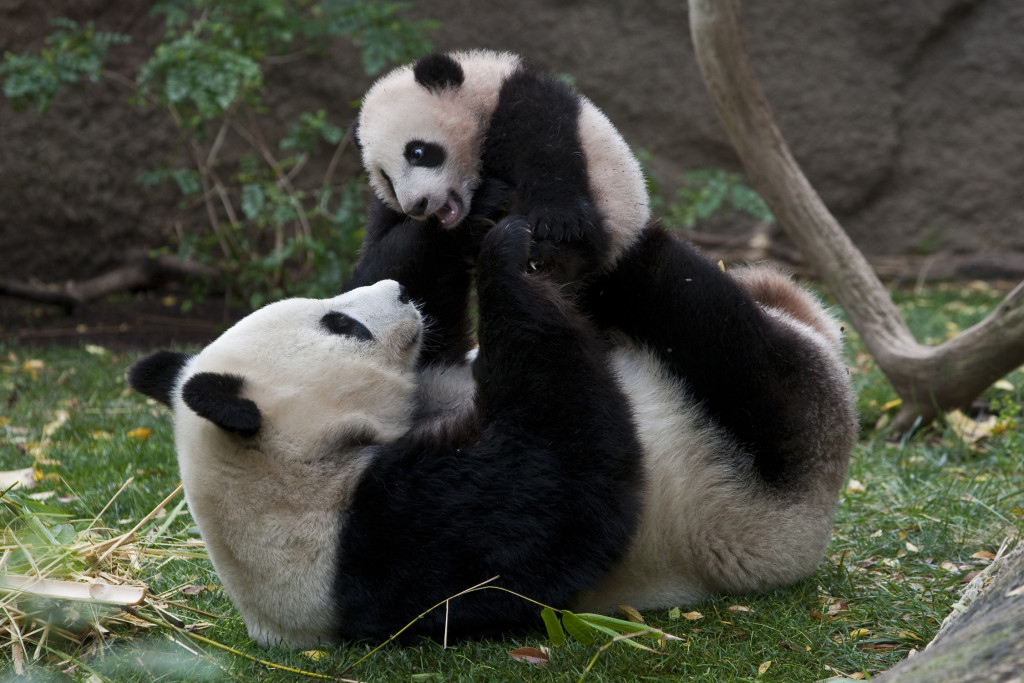 "Pandas at the San Diego Zoo! Bai Yun, whose name means ""white cloud"", gave birth to her fifth cub at the San Diego Zoo on Aug. 5, 2009."